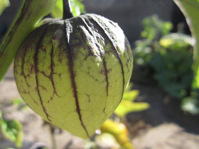 Tomatillos Mexican Husk Tomato