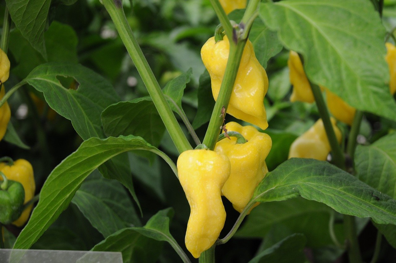 Yellow Tam Habanero
