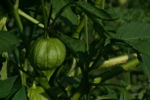 fresh ripe tomatillos